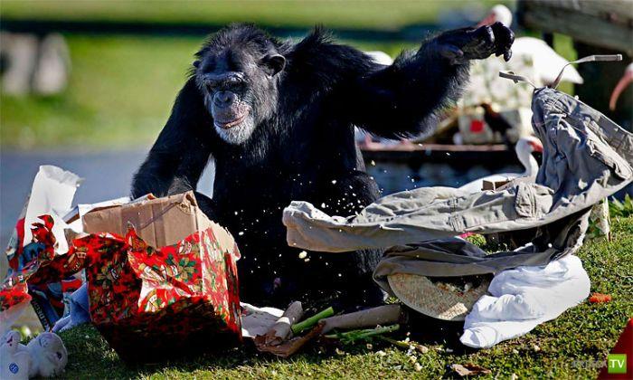 Новогодние подарки для Шимпанзе (11 фото)