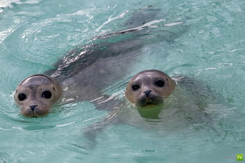 Спасение датских тюленят-сирот (9 фото)