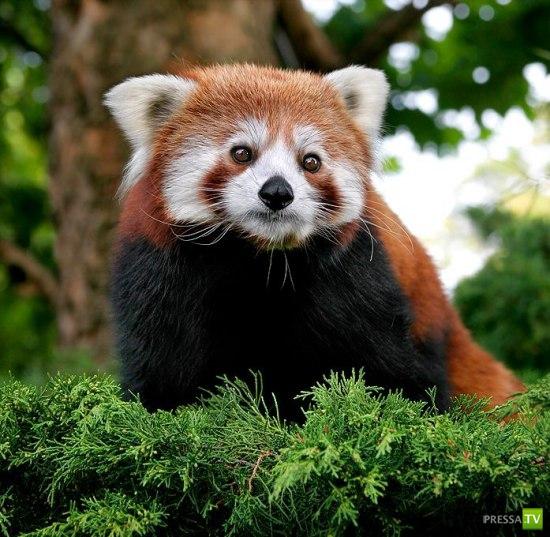 Firefox... Огненная лиса (10 фото)