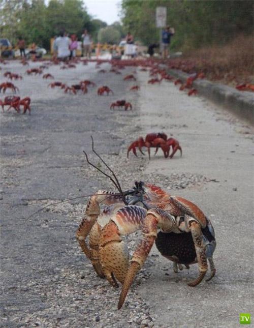 Миграция крабов