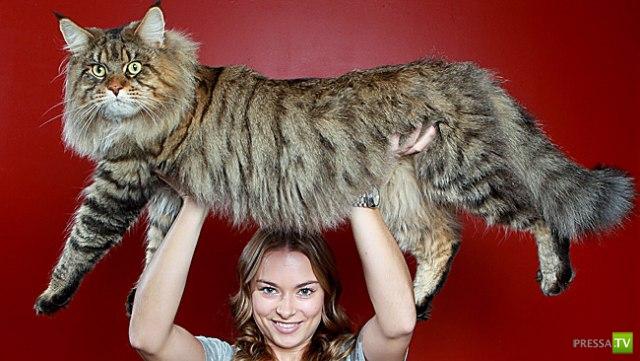 Руперт - самый крупный из неперекормленных котов в мире (4 фото)