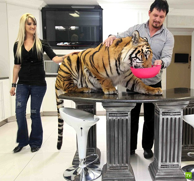 Молодая пара держит дома тигра (17 фото)