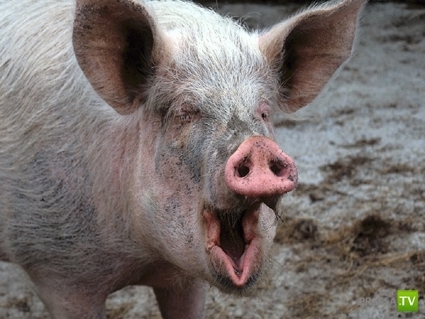 Конкурс свинского крика в Америке (фото + 4 видео)