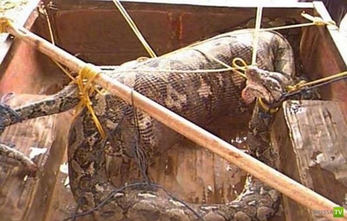 В Судане поймали змею, проглотившую 10-летнего мальчика (3 фото)