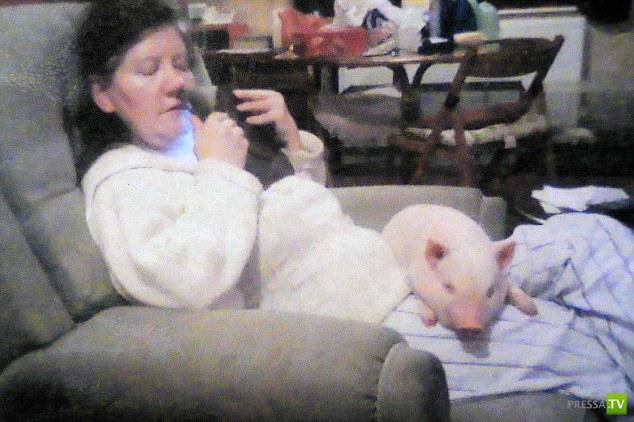 Купили модную микро-свинью в качестве домашнего животного (6 фото)