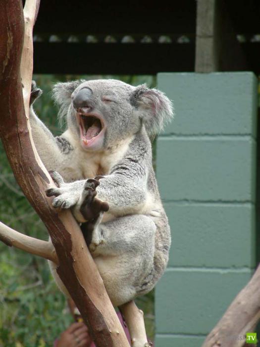 Забавные животные... зевают (25 фото)