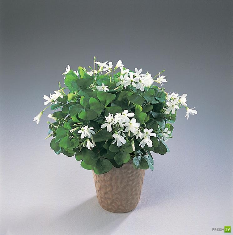 Цветок счастья фото