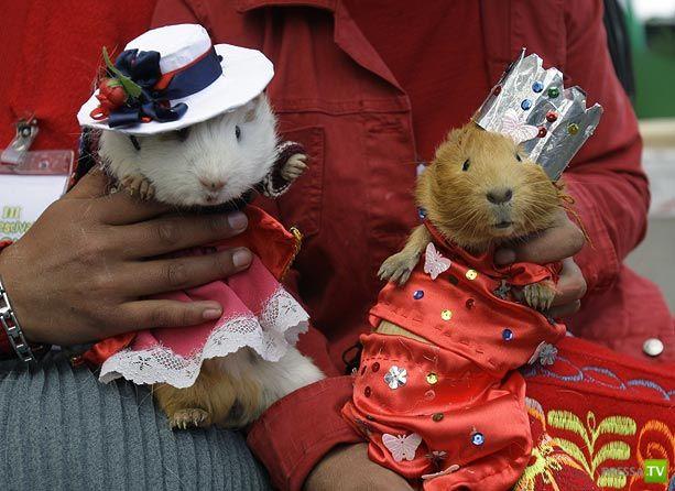 Ежегодный фестиваль морских свинок  в Перу... с неожиданным финалом (8 фото)