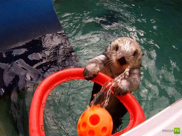 Морская выдра, по кличке Эдди, научилась играть в баскетбол (фото + видео)