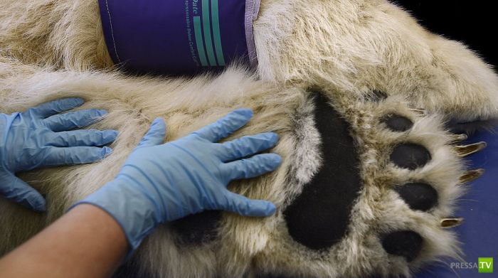 Белый медведь Борис на приеме у врача (10 фото)