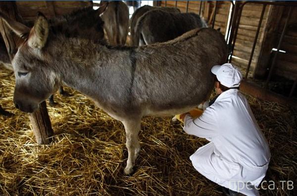 Пуле — самый дорогой сыр в мире, родом из Сербии (11 фото)