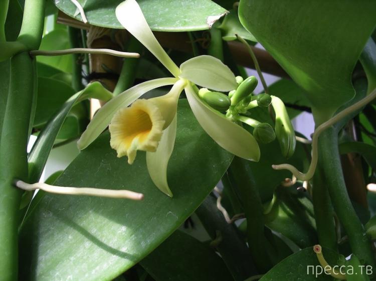 Удивительные факты об орхидеях (6 фото)
