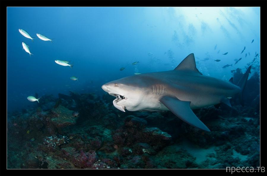 Дайвинг с акулами у берегов Фиджи -  (30 фото)