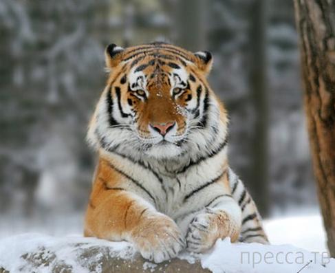 Интересные факты о тиграх (13 фото)