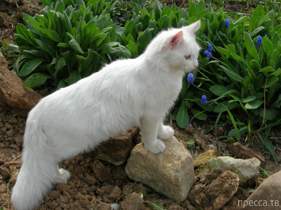 Удивительные кошки, нашедшие дорогу домой (5 фото)