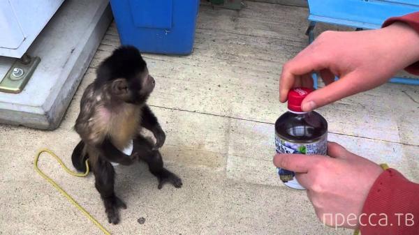 Что будет, если обезьяну научить пользоваться деньгами ... (5 фото)