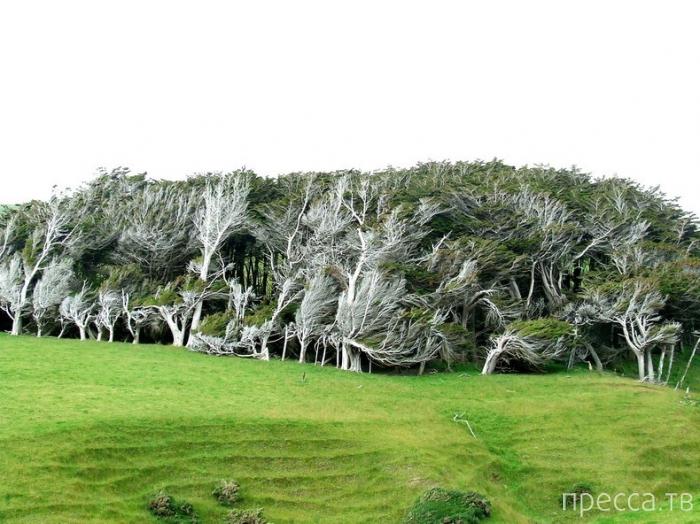 Кривые деревья на мысе Slope Point в Новой Зеландии (12 фото)