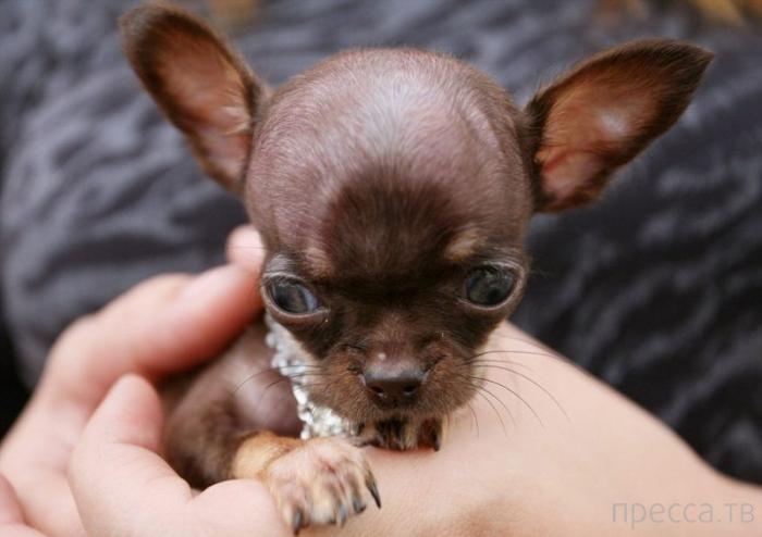 Самая маленькая в мире собачка  (7 фото)