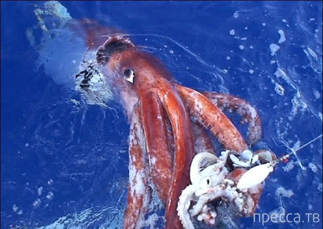 На берег Испании выбросило гигантского кальмара (5 фото + видео)