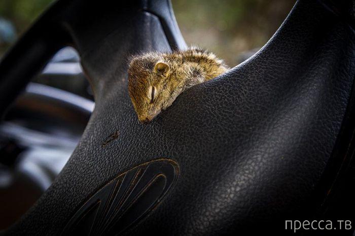 Спасенный бельчонок из пустыни Шри-Ланки ... (16 фото)