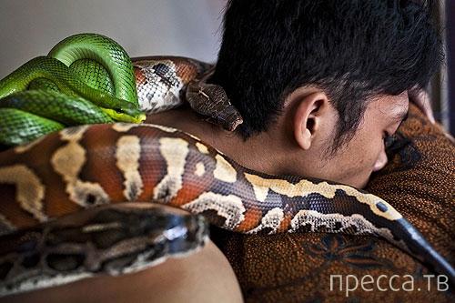 Змеиный массаж от Индонезии до Израиля (6 фото)