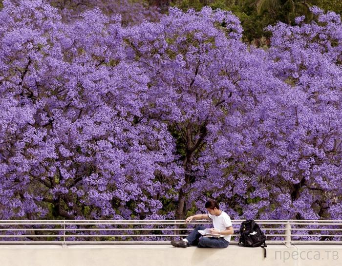 Жакаранда: дерево красоты и удачи (7 фото)