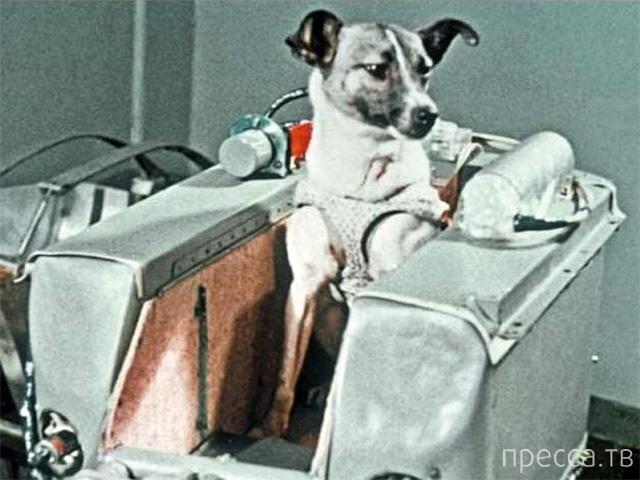 Топ 7: Грустные факты о полете в космос Лайки - первой собаки-космонавта (5 фото)