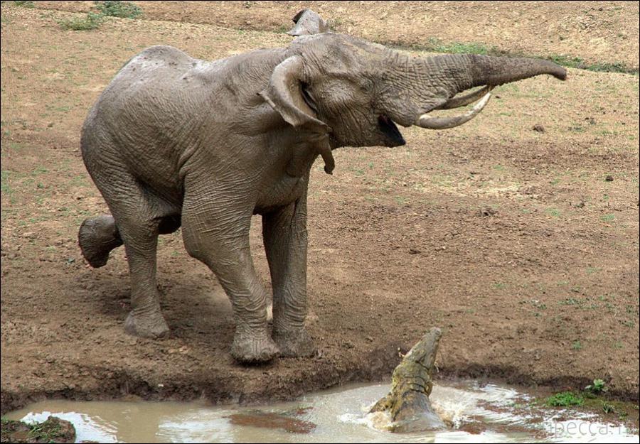 Слон попал в засаду (4 фото)