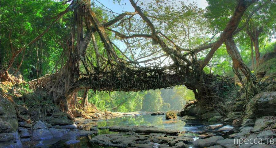 Мост из деревьев племени Хаси (7 фото)