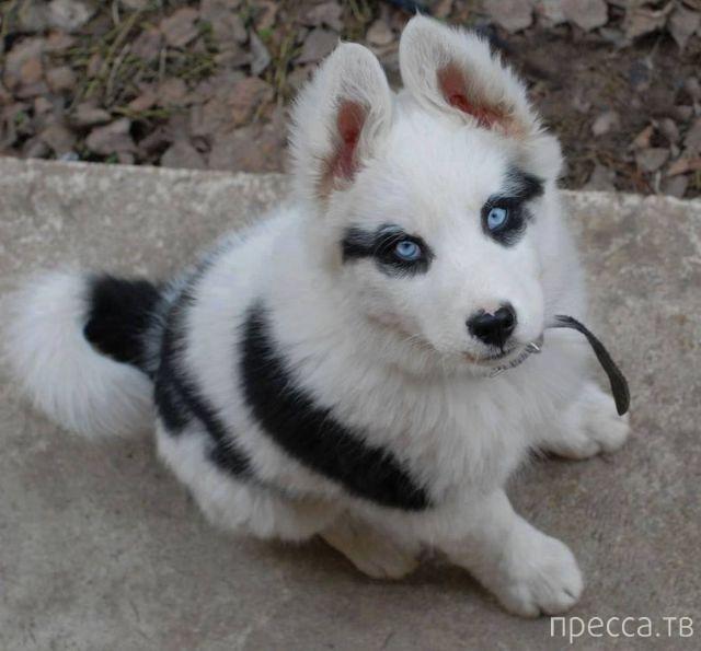 Photo de husky adulte