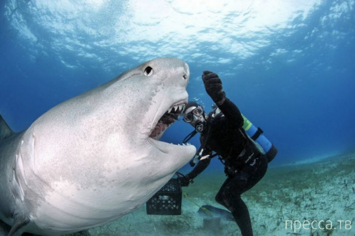 Дайвинг с тигровыми акулами (6 фото)