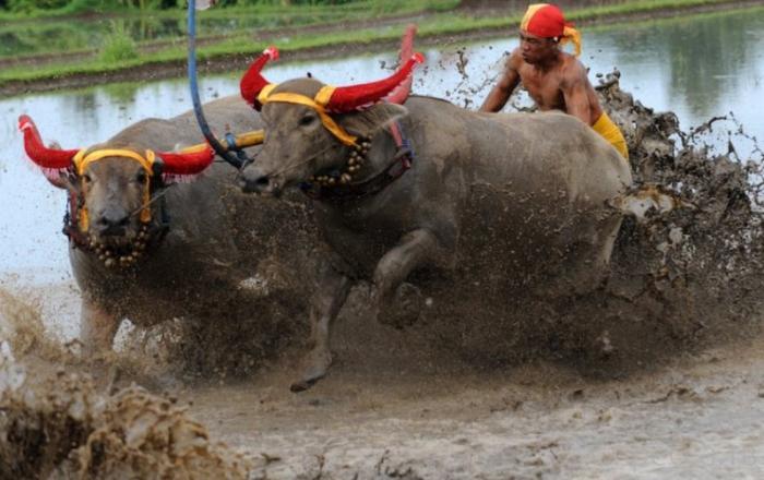 В Индонезии прошли гонки на быках (8 фото)