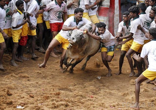 Джалликатту – спорт по укрощению быков (16 фото)