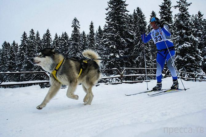 Гонка на собачьих упряжках «По земле Сампо» в Петрозаводске (34 фото)