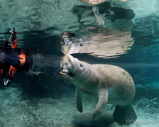 Заплыв с ламантином во Флориде (14 фото)