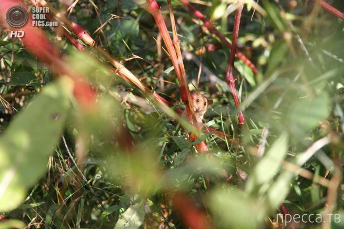 Орешниковая соня (11 фото)