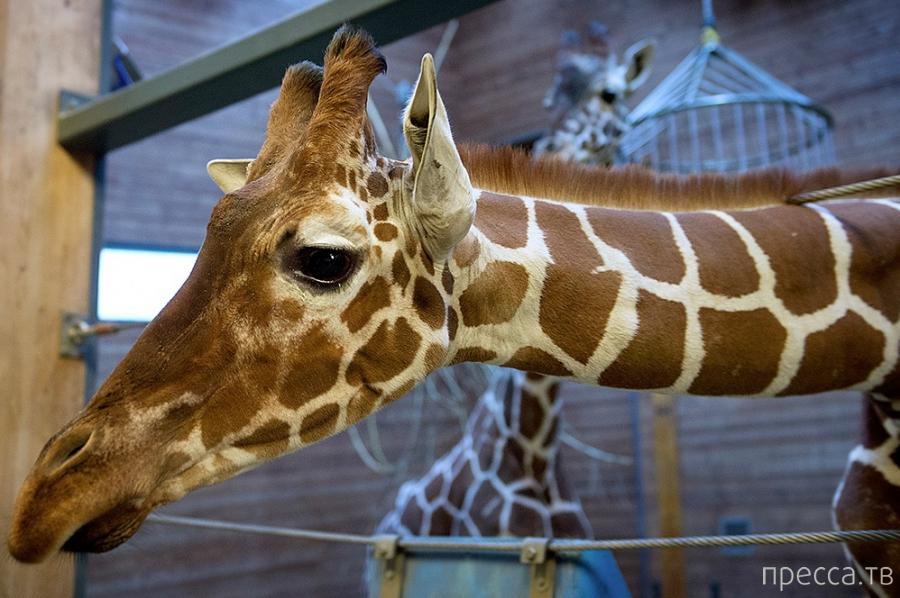 Жесть! Убийство жирафа на глазах у детей (6 фото)