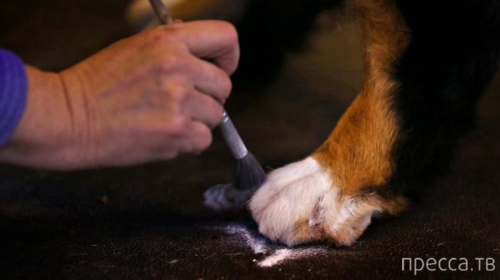 """""""Шоу Крафт""""- крупнейшая выставка собак в мире. Бирмингем, Англия (23 фото)"""