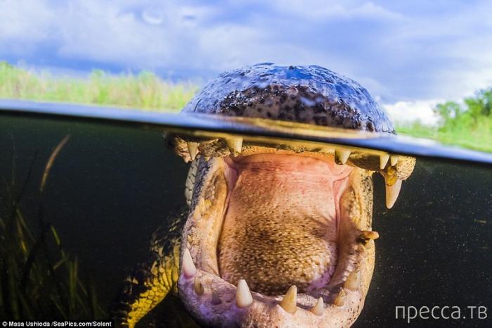 """""""Встреча с аллигатором"""" от фотографа Masa Ushioda (10 фото)"""
