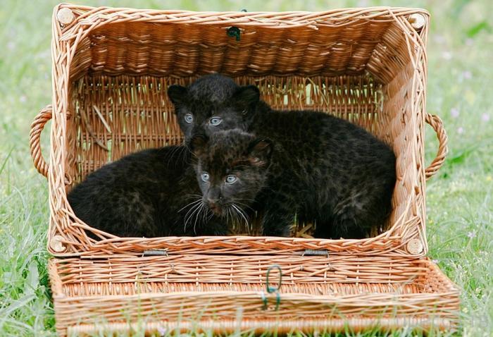 Большие кошки тоже любят коробки (19 фото)