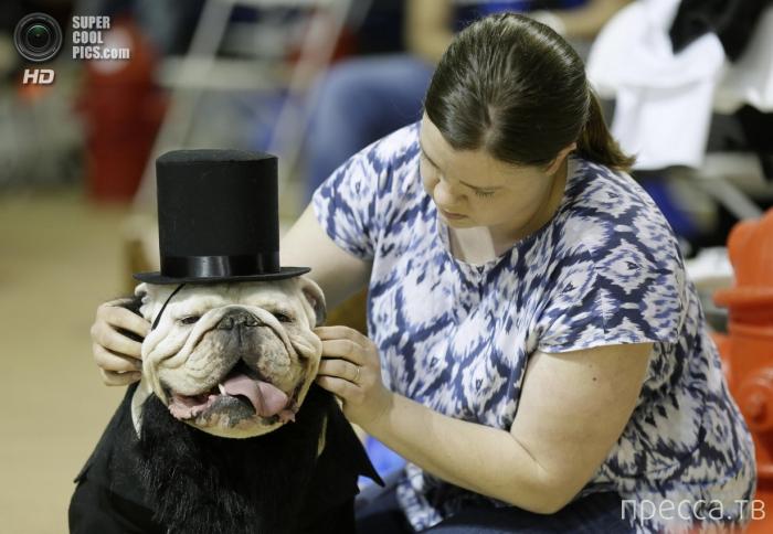 Конкурс красоты бульдогов в американском университете Дрейка (10 фото)