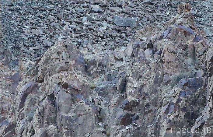 """Снежный барс - """"серый призрак Гималаев"""" (11 фото)"""