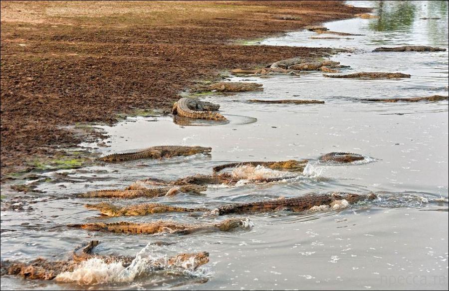 Крокодилы против бегемотов в Национальном парке Замбии от фотографа Марка Мола (6 фото)