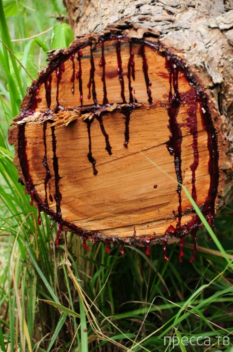 Южно-Африканское кровавое дерево (6 фото)