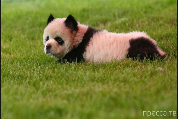 Китайский креатив: собака превращается в панду (6 фото)