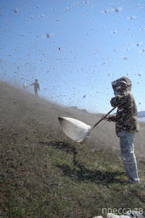 Комариная напасть в американском штате Висконсин (20 фото)