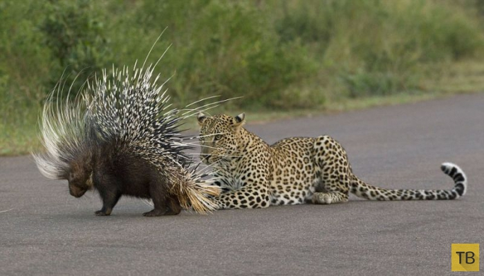 Молодой леопард хотел пообедать дикобразом (5 фото)