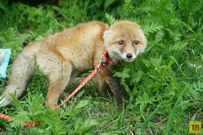 В Омском приюте для животных выходили маленького лисенка (5 фото)