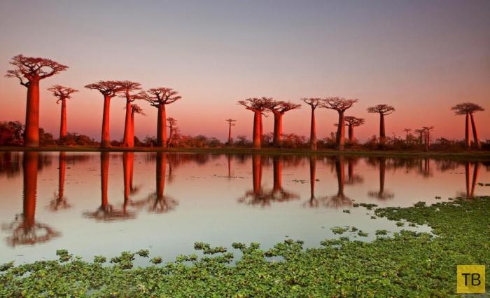 Баобабовая роща на Мадагаскаре (8 фото)
