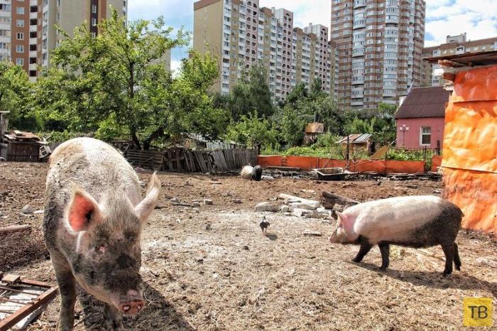 Свинарник среди высоток Киева (16 фото)